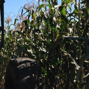 source of Reid's Yellow Dent seed corn