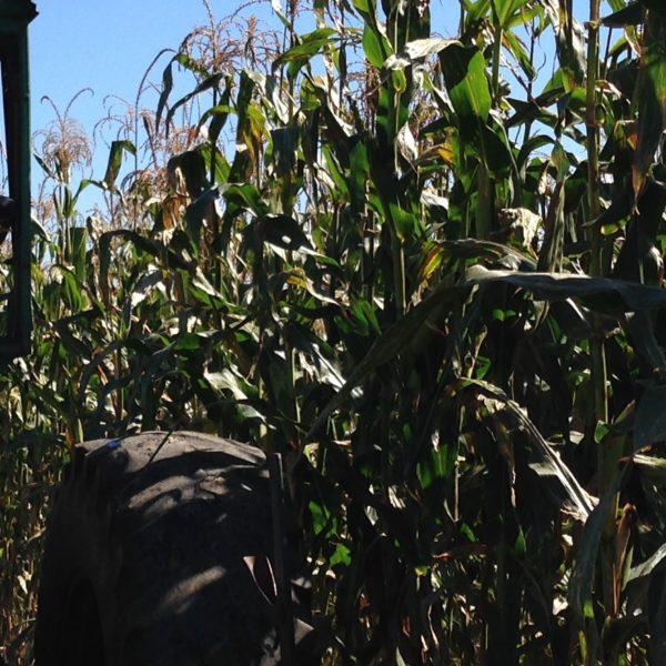 source of Reid's Yellow Dent seed corn