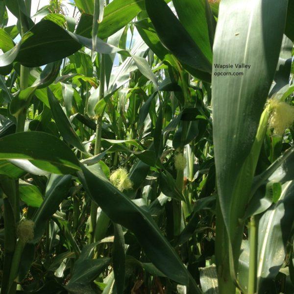 wapsie-valley-corn-opcorn-com