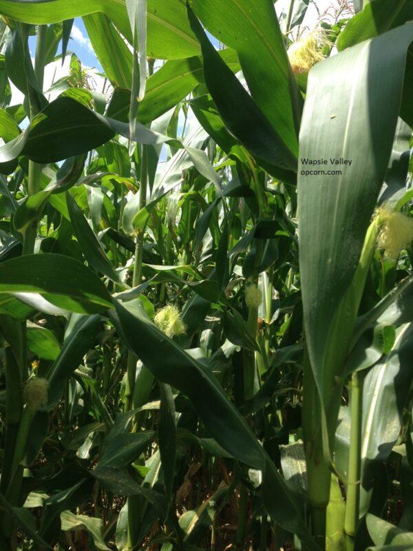 Wapsie Valley Corn seed